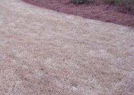 dormant-bermuda-grass