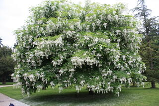 Top 4 flowering trees in marietta and cumming these trees can often be identified by their smooth and almost gray bark and fragrant white flowers in the spring these flowers grow in clusters that hang mightylinksfo Gallery