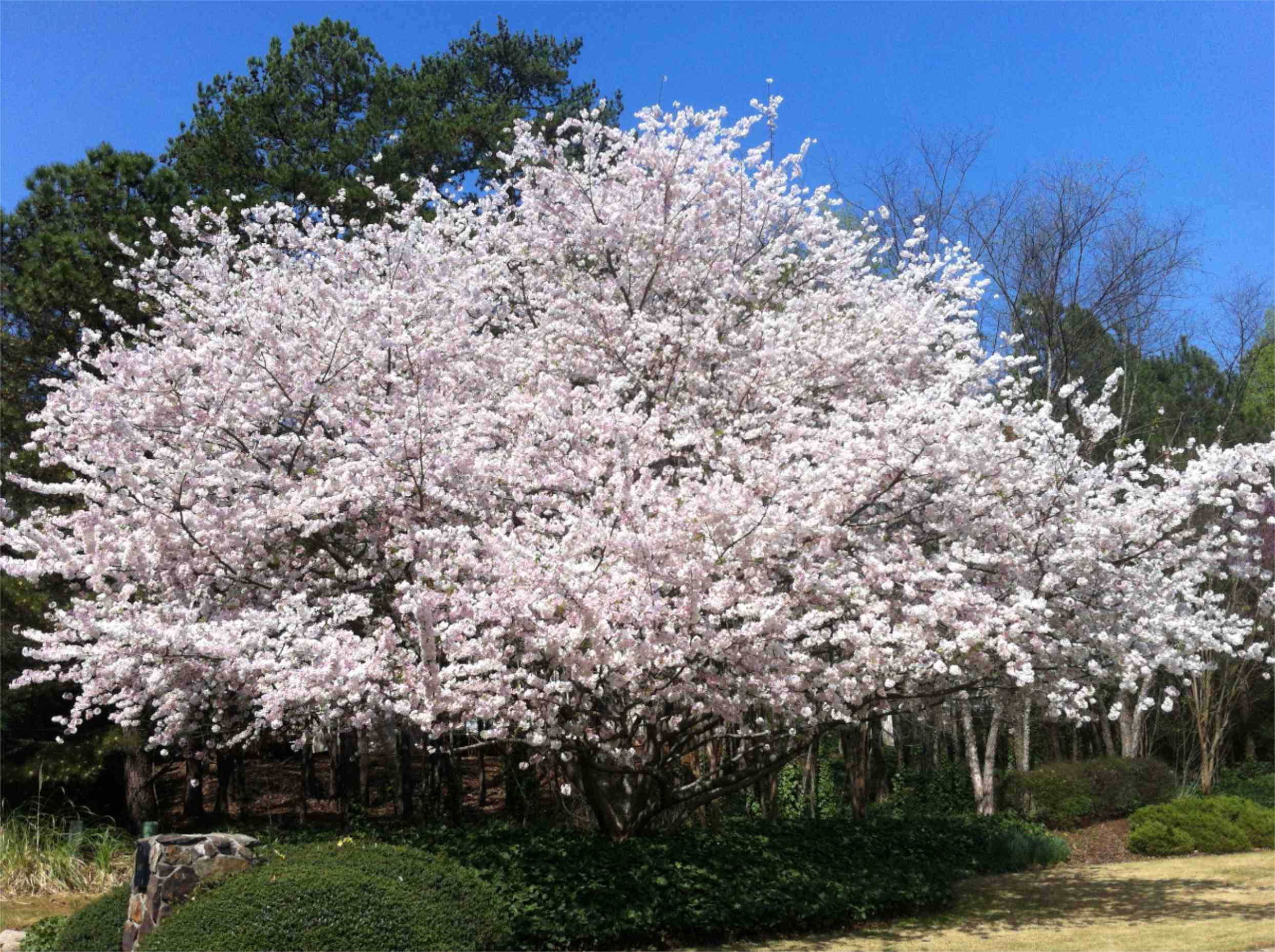 Top 4 flowering trees in marietta and cumming 1 mightylinksfo