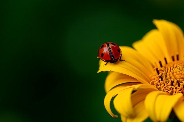 ladybug-3475779_640